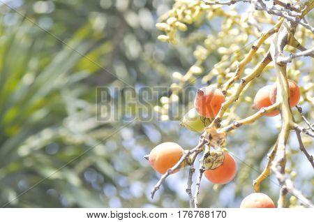 seeds of betel palm or betel nut
