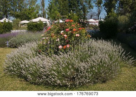 Beautiful garden with lavender and roses, Italy