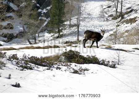 The Chamois looking for food in the snow, waiting for the spring