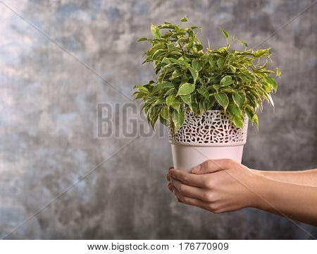 Female hands holding ficus in pot on grey background