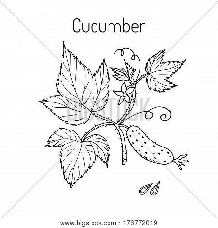 Cucumber with flower and leaves. Vector illustration.
