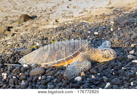 Green turtle on the rocky beach of Kiholo State Park on the Big Island of Hawaii at dusk. Chelonia mydas