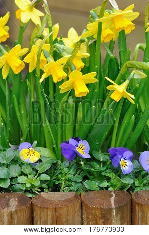 daffodils and viola bordering in a garden