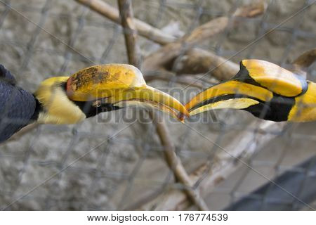 Image of a two hornbill in a cage. wild animals.