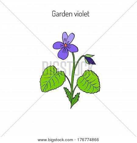 Wood violet, or sweet violet,  English violet, common violet, garden violet, aromatic and medicinal plant, vector