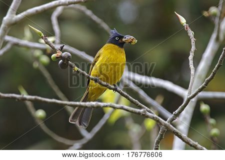 Black-crested Bulbul Pycnonotus flaviventris Birds Eating Fruit