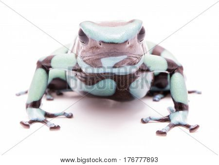 Poison dart frog, Dendrobates auratus Pena Blanca. Poisonous rain forest animal from Panama. Isolated on white background.