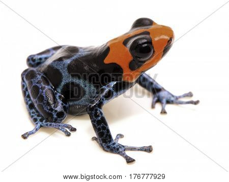 poison dart frog with red head, Ranitomeya benedicta. Poisonous rain forest animal with bright warning colors. Isolated on white background.
