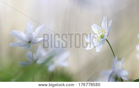 Wood anemone a white early spring wild flower. These flowers cover the forest floor. Spirituality and purity of unspoiled wilderness.