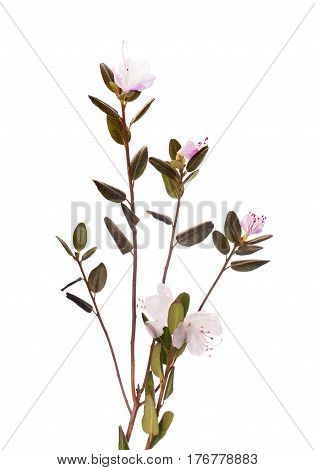 Medicinal Plant On  White Background Isolated