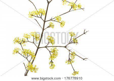 Blooming Cornelian Cherry macro on white background
