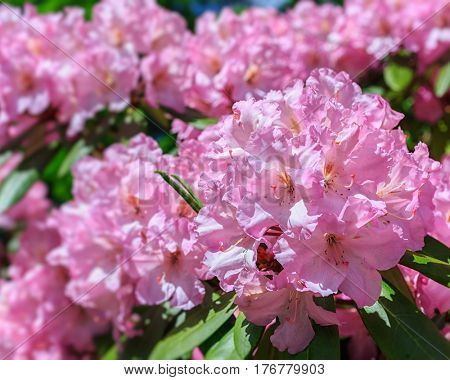 Pink rhododendron in the early summer garden.