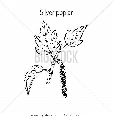 Populus alba, silver poplar, or silverleaf poplar, or white poplar. Vector illustration
