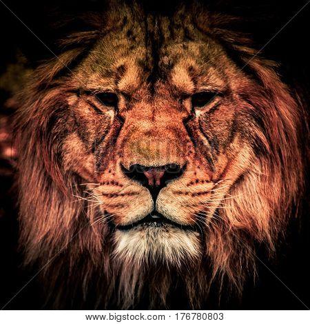 Adult lion in the dark. Portrait of big dangerous african animal. Low key effect.