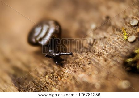 Helix pomatia, common names the Burgundy snail, Roman snail, edible snail or escargot