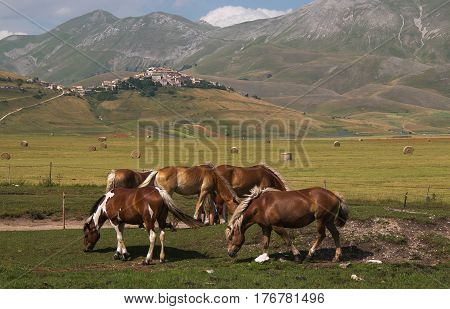 Panoramic view of Castelluccio di Norcia and wild horses on Pian Grande