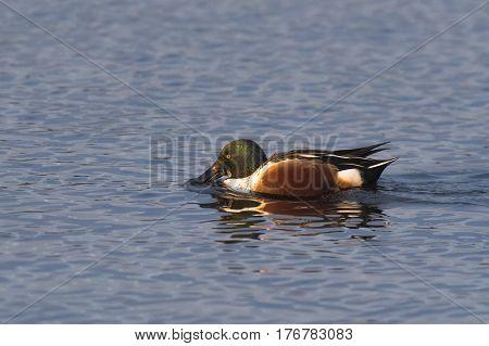 Northern Shoveler (Anas clypeata) drake swimming in water of a Lake
