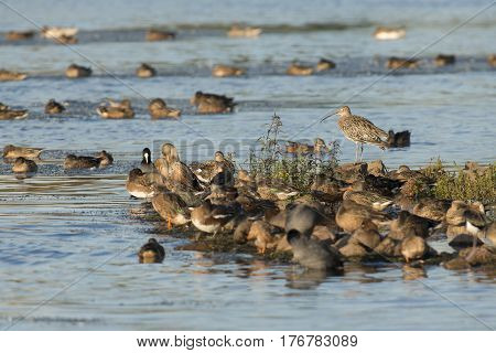 Eurasian curlew (Numenius arquata) perched on a small Island with a group of Eurasian Coot (Fulica atra) and juveniles Northern Shoveler (Anas clypeata)