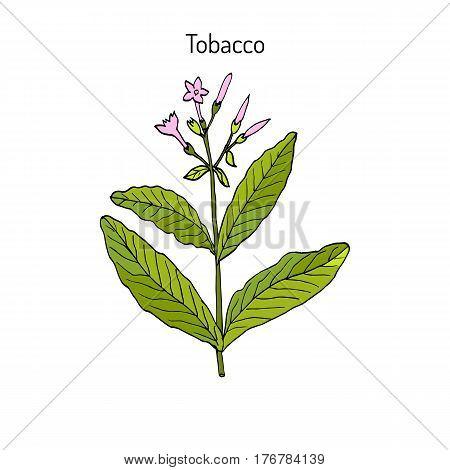 Tobacco plant Nicotiana tabacum . Botanical hand-drawn vector illustration