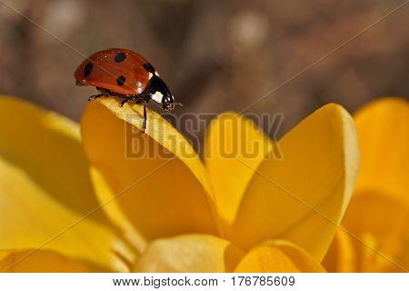 close up ladybug on yellow crocus flower