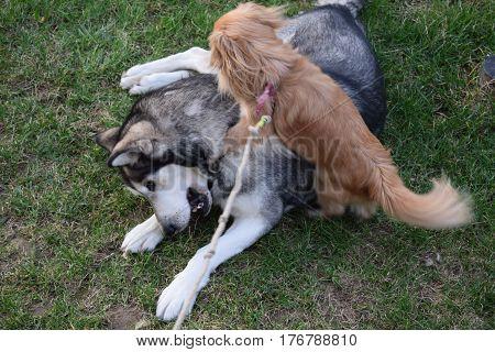 alaskan malamute and pekingese, plays two old friends