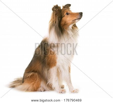 shetland sheepdog in front of white background