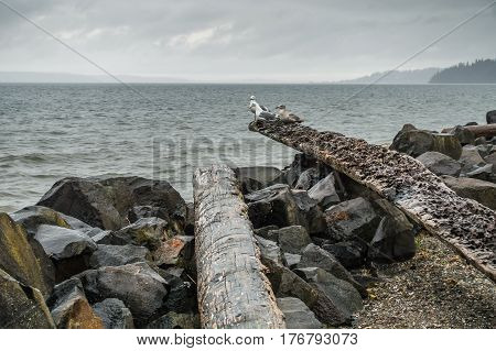 Three seagulls sit on a driftwood log on an overcst day in the Pacific Northwest.