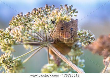 Eurasian Harvest Mouse Feeding On Seeds