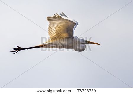 Flying Great Or Common Egret