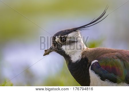 Sideview Portrait Of Northern Lapwing With Feather Detailed Wing