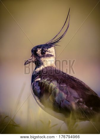 Vertical Portrait Of Northern Lapwing In Grassland Habitat In Vintage Colors
