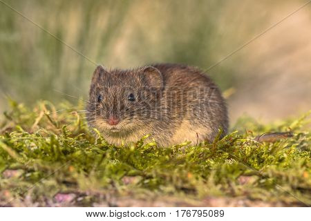 Wild Bank Vole In Natural Environment