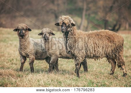 mom sheep with lambs in field