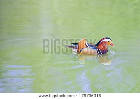 Colorful duck in lake