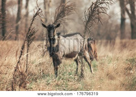 Goat in forest