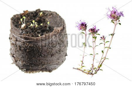Flower and seedling of wild thyme (Thymus serpyllum) isolated on white background