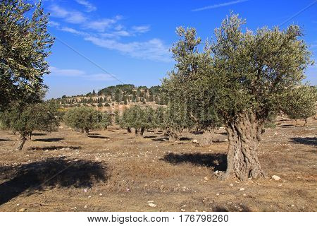 A mature olive tree grove between Bethlehem and Jerusalem, Israel.