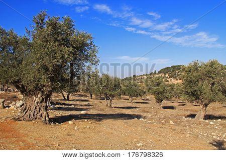 A mature olive tree grove between Bethlehem and Jerusalem, Israel.