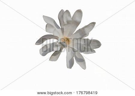 isolated magnolia stellata white waterlily in the garden