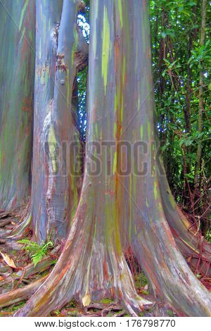 Colorful Painted Bark Eucalyptus Tree in Tropical Forest