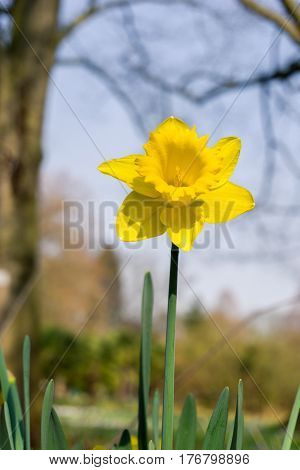 Daffodils in spring. Narcissus. Yellow Flowers. Daffodils