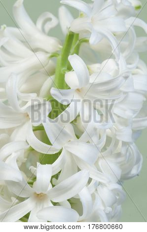 Hyacinth flowers close up soot green background