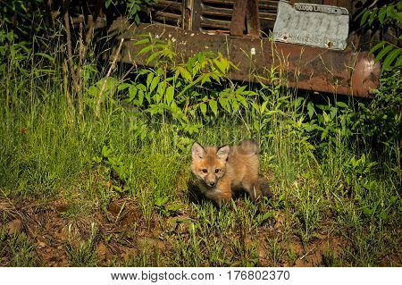 Red Fox Kit (Vulpes vulpes) Stands By Front Bumper of Old Truck - captive animal altered license plate