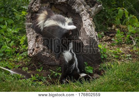 Striped Skunk Kits Doe (Mephitis mephitis) Drags Kit Into Log - captive animals