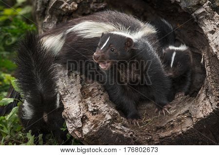 Striped Skunk Kits Doe (Mephitis mephitis) Mouth Open in Log with Kits - captive animals