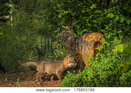 Grey Fox Vixen (Urocyon cinereoargenteus) in Shade with Kit - captive animals