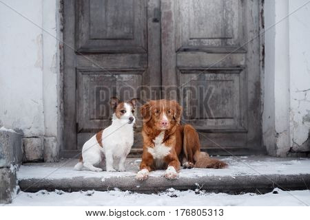 Dog Jack Russell Terrier and a Nova Scotia Duck Tolling Retriever outdoors in winter