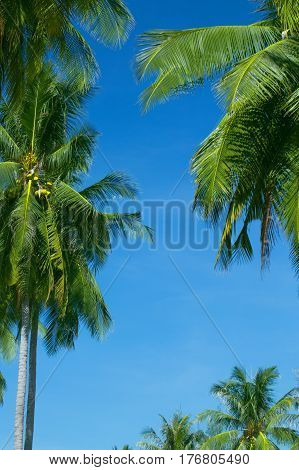 The tops of palm trees on a clear blue sky