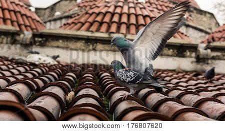 Mating pigeons on Red roof high quality and high resolution studio shoot