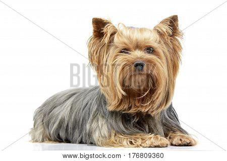 Studio Shot Of An Adorable Yorkshire Terrier